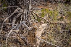 Rock Squirrel Spermophilus variegatus (Serendigity) Tags: rocksquirrel utah landscape spermophilusvariegatus nature deadwood outdoors unitedstates usa brycecanyonnationalpark