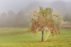 Autumn is comming (Sebo23) Tags: autumn herbst hersbstimmung apfelbaum appeltree nebel fog landscape landschaft kontrast canon6d canon24704l