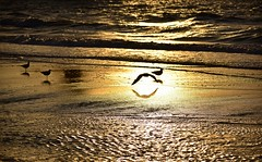 Finally the people are gone (Pics4life.nl off and on next week) Tags: golden gold goud strand beach sea zee zonsondergang sunset seagull light waves zonlicht golven water nederland scheveningen kust birds
