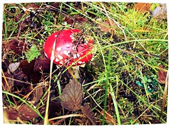 I've never trusted toadstools, but I suppose some must have their good points. (martyna66637) Tags: mother nature flora leaf poland brown red moss green toadstool mushroom forest natura przyroda matka li polska brz czerwony mech ziele muchomor grzyb las iphone apple never trusted toadstools but i suppose some must have their good points