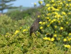 Cape Bulbul (tapaculo99) Tags: birds aves africa southafrica hermanus bulbul capebulbul pycnonotuscapensis