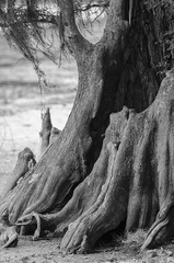 Natural Cypress (Carolyn Marshall Photography) Tags: carolynmarshall baldcypress blackandwhite cypressknees florida hillsboroughcounty lettucelake tampa bog cypress detail ecology ecosystem environment knees lake lakeside landscape marsh moss natural nature outdoors park peaceful plants preserve river roots scenery scenic shoreline southeast southern trees trunk usa water waterway wetlands photography bw
