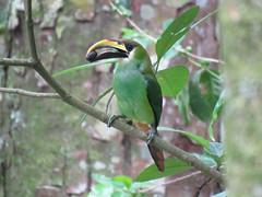 EMTO_2016c (Surfishrink) Tags: emeraldtoucanet aulacorhynchusprasinus selvanegra nicaragua centralamerica