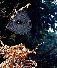 Ano Nuevo, sun and webs, Butano State Park, Goat Hill trails, Little Butano Creek, redwoods (David McSpadden) Tags: anonuevo butanostatepark goathilltrails littlebutanocreek redwoods sunandwebs