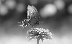 Lumiere noire (Ste.Baz) Tags: swallowtailbutterfly papillon mariposa black macro garden summer light