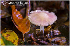 Rosy Bonnet (Mycena Rosea) (Sharon Emma Photography) Tags: rosybonnet mycenarosea lilacbonnet mycenapura pink rosy pinktutu beautiful bokeh pretty fungiart mushroom toadstool fungi fungus deadwood rottingtreestump treestump moss ferns fruitbody fruitingbody spores cap gills gilledfungi flesh hymenium nature naturalworld countryside country countryfile wild wildlife ngc woodlands woods outdoor ebernoe ebernoecommon westsussex sussex england britain uk europe nikon nikond7200 d7200 sharonemmaphotography sharongoldring sharonemmagoldring sharondowphotography sharondow autumn autumncolour colour october2016 2016