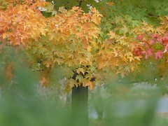 Out of the mist (lovesdahlias 1) Tags: trees acers maples foliage mist nature fall newengland