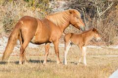 New Addition at Assateague Island (drbradkent) Tags: horse foal wild feral assateagueisland