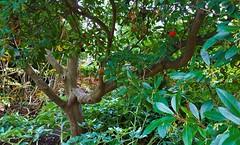 """Strawberry Tree""...Arbutus Unedo ""Elfin King"" (standhisround) Tags: strawberrytree trees tree fruit arbutusunedo elfinking nature leaves rbg kewgardens royalbotanicalgardens kew london uk"