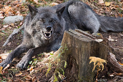Happy Growloween! ( says the Wolf ! ) (NicoleW0000) Tags: black timber wolf teeth snarl fangs eyes wolves behavior wildlife photography parcomega snarling intense predator carnivore 150600mm making captive