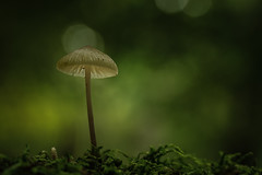 Alone (aj_nicolson) Tags: appicoftheweek mushroom fungi soft softness nature moss closeup macro single woodland green