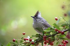 【冠羽畫眉】 Yuhina brunneiceps (Ogilvie-Grant, 1906) (Sam's Photography Life) Tags: marco nature bird 畫眉 鳥 山鳥 冠羽 狀元紅 杉林溪 南投