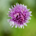 Chive in flower