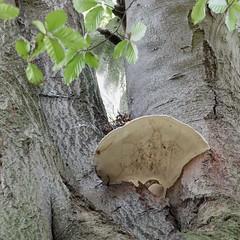 Fungus in Tree (velodenz) Tags: saturdayhike beech tree arbre arbol baum fungus
