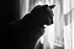 Cat Contemplation (slimaly) Tags: cat cats blackandwhite noir animals kitty russianblue