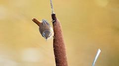 Wren (Troglodytes troglodytes) (jhureley1977) Tags: wren troglodytestroglodytes birds birding britishbirds birdsofbritain ashjhureley avibase naturesvoice rspbbirders bbcautumnwatch rspb rspbryemeads ashutoshjhureley