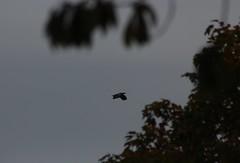 Fischadler (Pandion haliaetus) (2), NGID73917836 (naturgucker.de) Tags: ngid73917836 naturguckerde fischadlerpandionhaliaetus müritznationalpark ckarolaapel