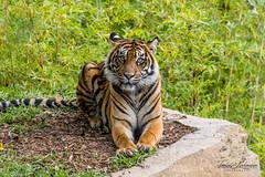 Joanne (ToddLahman) Tags: joanne sandiegozoosafaripark safaripark sumatrantiger tigers tiger tigertrail escondido canon7dmkii canon canon100400