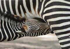 ZEBRA (concep1941) Tags: mammals zebras perissodactyla equidae equus africa africasavanna