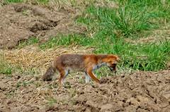 A l'afft! (Joseph Trojani) Tags: renard fox gibier animal animaux nature natur fort forest bois chasse nikon d7000