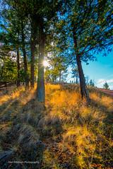 Golden Hues (Glen Eldstrom) Tags: knoxmountainpark kelowna okanaganvalley okanagan goldengrass hdr landscapelovers landscape trees grass