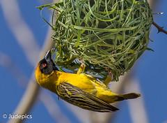 Weaver (judepics) Tags: africa bird namibia nest weaver windhoek nature