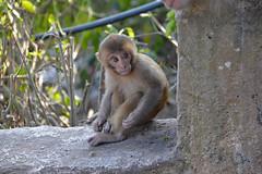 DSC_3461littlemonkey (BasiaBM) Tags: swayambhunath monkey temple kathmandu nepal