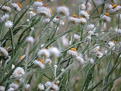 winged everlasting 銀苞菊 Ammobium alatum  苞瓣菊屬 (Sheila's collection) Tags: winged everlasting 銀苞菊 australian native white flower asteraceae 菊科