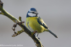 Blue Tit (Reinhold.Lotz) Tags: natur blaumeisen meisen vögel kirtorf hessen deutschland de ngc npc