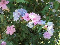 292 (en-ri) Tags: fiorellini sony sonysti cespuglio arbusto lilla rosa fiori flowers foglie leaves