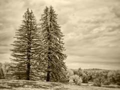 PB020440 - Pine Pair (Syed HJ) Tags: olympusomdem5 olympusem5 olympus em5 fujian35mmf16 fujian35mm fujian 35mm cctvlens nashua nh nashuanh blackandwhite blackwhite bw infrared bwinfrared ir 720nm