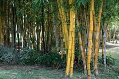bamboo (siglinde m) Tags: bamboo bambus
