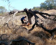 031 Dead Tree On A Boulder (saschmitz_earthlink_net) Tags: 2016 california orienteering topangacanyon statepark laoc losangelesorienteeringclub losangeles losangelescounty santamonicamountains