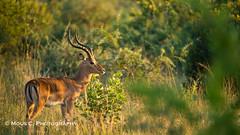 DSC01611.jpg (ChrMous) Tags: tamronsp150600mmf563 southafrica zoogdieren zuidafrika animals sonyslta99 northwestprovince 2016 impala pilanesbergnp aepycerosmelampus
