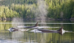 Orcas (thibaut_mauron) Tags: yannic canada nature orcas wildness animal