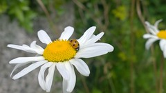 Daisy Days (mcginley2012) Tags: daisy ladybird ladybug insect wildflower oxeyedaisy cameraphone lumia1020 flower petal summer2016 daisydays nature