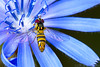 A Pretty Fly (raypainter) Tags: allograptaobliqua flowerfly scotttucker tinygame wildchicory canon animals arthropod bug bugs colorado diptera ef100mm eos70d flies fly hfdf insects macro micro microfauna morning nature outdoors raypainter summer syrphidae wildlife blue