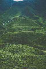 DSCF1131 (tzeyangtan) Tags: cameron highlands getaway green sgpalas tea plantation photography