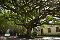 Figueira centenaria (crismdl) Tags: figueira charqueada charqueadasojoo pelotas 1810 charqueadas riograndedosul rs rvore arbre