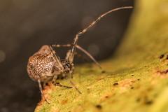 Checking out (LeoMahcro) Tags: d810 guasca colombia spider orbspider nature predator 105mmf28gvrmicro nikkor105mmf28gvrmicro nikonafsteleconvertertc20eiii macrophotography sbr200 leg depretator closeup extreme