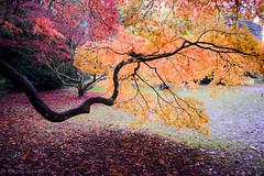 westonbirt arboretum (o Nightfox o) Tags: westonbirt arboretum tree leaves autumn nikon nikond3300