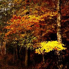Non ci abbandona l'estate ma del sole  lascia i colori (TRICOR 46) Tags: albero autunno foglie