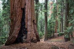 Among the Giants (Kurt Lawson) Tags: bark burned california forest giant green national park red redwood scar sequoia sierra sierranevada sierras tree trees
