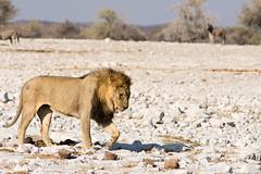 Namibia-92 (pommyboi) Tags: 200500 2016 d7200 namibia nikon etosha lion