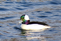 Bufflehead - Male (Lois McNaught) Tags: bufflehead bird avian duck nature wildlife outdoor hamilton ontario canada blackandwhiteduck