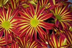 red and yellow (Pejasar) Tags: yellow red bloom blossoms stripes autumn fall