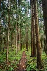 Vertical Forest (elenaleong) Tags: sakamoto gunma nakasendotrail vertical tallpinetrees elenaleong hiking path