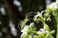 Peucetia viridans (WetPhotographer) Tags: macro arañas insectos sony a55