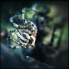 Something Spookier Below 96/100 (Firery Broome) Tags: spider spiderweb spiders deadspider livespider large small nature naturelovers artofnature newark delaware universityofdelaware pattern brown black green blue cellphone phonephoto iphone iphone5s iphoneography phoneography externallens olloclip macro closeup dof bokeh ipad ipaddarkroom apps snapseed square squarenature iphonenature delawarenature insect 100x2016 100xthe2016edition image96100 somethingspooky 365