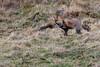 Renard roux en chasse à la tombée de la nuit (sfrancois73) Tags: mammifère renardroux faune